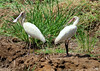 African spoonbill  (Platalea alba) , Abuko, The Gambia by Frans.Sellies