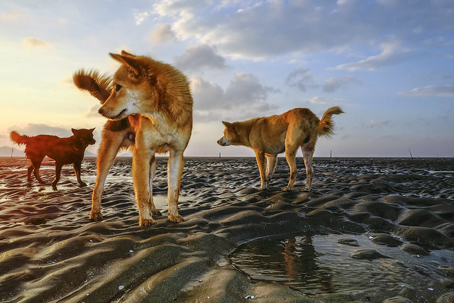 The dogs at Can Gio beach