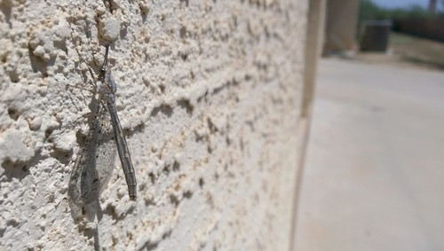 Lacewing Critter on the Wall   by AlienSplicer