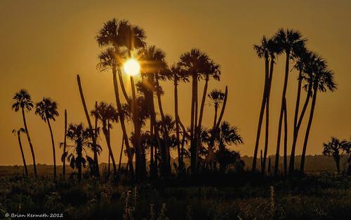 flare solarflare sun sunset lakewoodruff sky skies tree trees palms palmtrees cabbagepalms sabalpalmetto sunflare