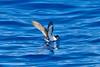 011031-IMG_2906 Gould's/Collared Petrel (Pterodroma leucoptera/Pterodroma brevipes) by ajmatthehiddenhouse