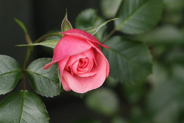a rose 4 my love