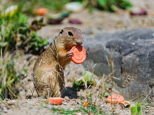 Ground squirrel eating a carrot | by Tambako the Jaguar