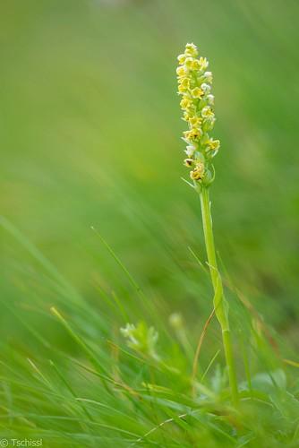 blumen eisenerzeralpen leobenumgebung orchideen location österreich orchids steiermark vordernberg at