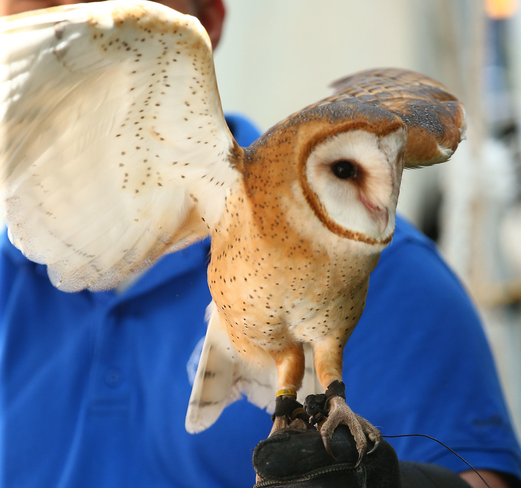 Nys Fair A Soren Barn Owl At The Birds Of Prey Exhibit At Flickr