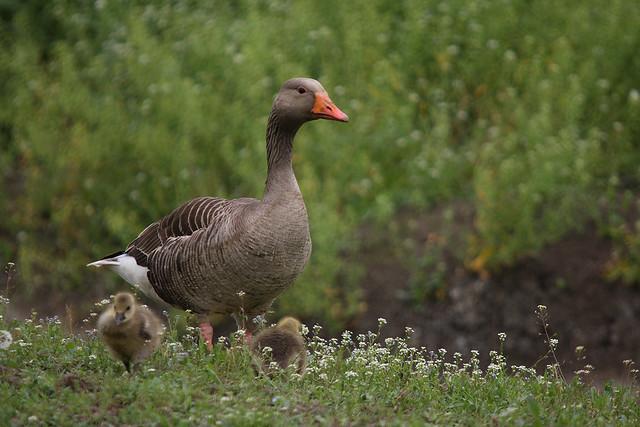 Goose Mum - Mamma oca
