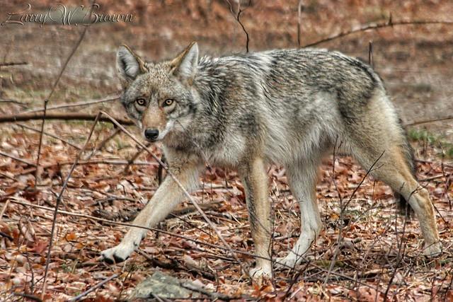 apex predator (hdr)