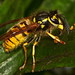 German Yellowjacket - Photo (c) Sid Mosdell, some rights reserved (CC BY)