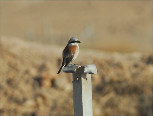 Bay-backed Shrike 2 | by Army Ornithological Society