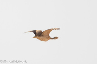 White-bellied Bustard (Eupodotis senegalensis), Mora Plains, near Maroua, Cameroon, 2012-03-27 -101.jpg | by maholyoak