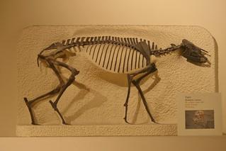 Tapir, Helaletes nanus, 50 million years ago, Early Eocene, Wyoming, National Museum of Natural History, Washington DC, 2012 | by Sofia AtmatzidouEulgem