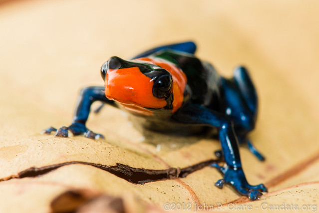 Blessed Poison Frog - Ranitomeya benedicta