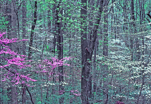 Eastern redbud and flowering dogwood | by NatureServe