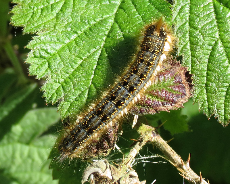 1640 Drinker Moth - Caterpillar - Euthrix potatoria