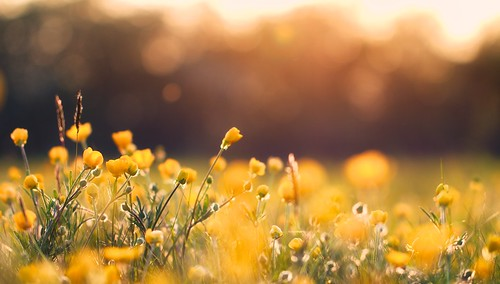 flowers sunset summer yellow golden walks bokeh fields goldenhour lazyeveningwalks richjjonesphotography richjjones