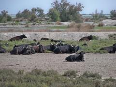 taureaux camarguais