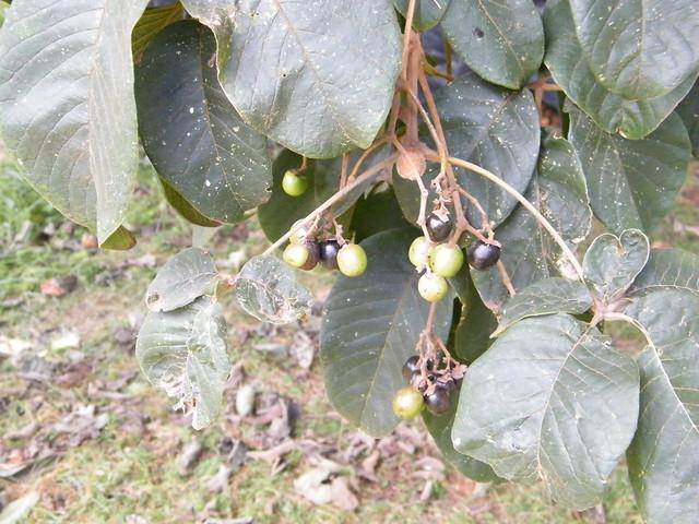 Vitex keniensis Turrill (LAMIACEAE)
