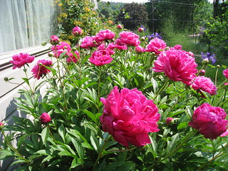 peonies | by boodely