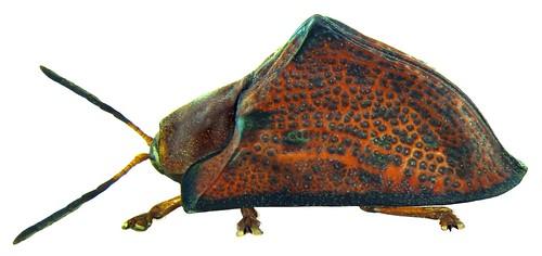 Dorynota aeneocincta (Spaeth, 1913) | by urjsa