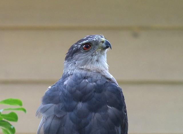 Backyard Bird Visitor Cooper's Hawk taken with a FUJIFILM X-S1 DSCF5366