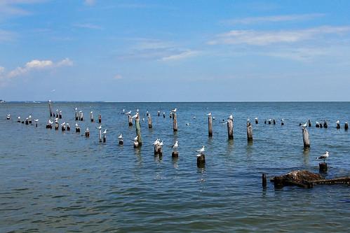 seagullschesapeakevirginia gwynns island virginia