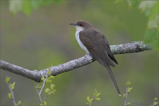 Black Billed Cuckoo | by Daniel Behm Photography