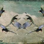 F_DSC2083-1-台灣藍鵲-Taiwan Blue Magpie-Urocissa caerulea-L64cm-羽-Feather-翼-Wings-鳥-Bird-行義公園-Xingyi Park-台北市-Taipei City-台灣-Taiwan-中華民國-Rep of China-Nikon D700-Nikkor 70-200mm-Distressed Jewell-A Bird In My Sky