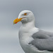 Flickr photo 'Glaucous Gull (Larus h. hyperboreus)' by: Allan Hopkins.
