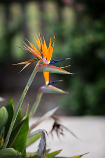 Strelitzia, Bird of paradise flower, decorative plant.   by mikebaird