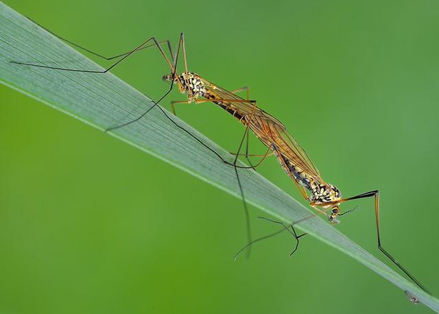 Zanzare in accoppiamento * Mosquitoes in mating