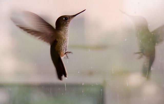 Hummingbird - Explored May 2nd, 2012 / #120