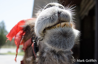 Looking a Camel in the Mouth   by Mark Griffith