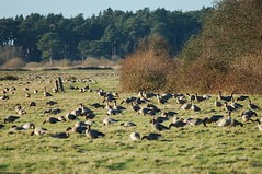Pink-footed Geese 1