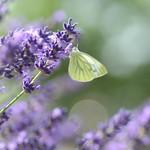 visitors to lavender