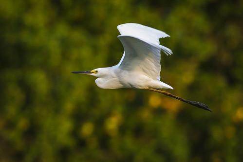 snowyegret summer johnheinznwr wildlife flight nature heinz egret bird philadelphia pennsylvania unitedstates us nikon d7200