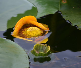 WILD WATER LILY IN CHEAM LAKE,  THE FRASER VALLEY,  BC.