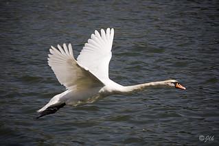 Swan | by Jlhopgood