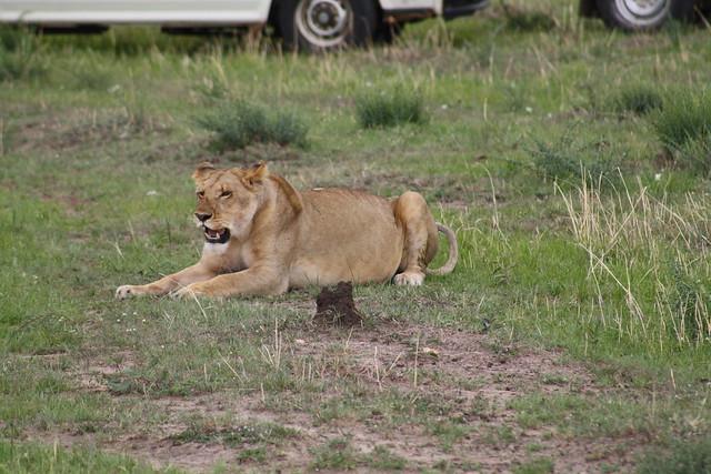 Lioness in heat