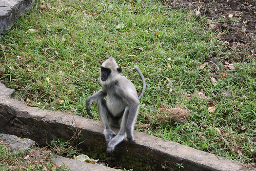 Black faced langur