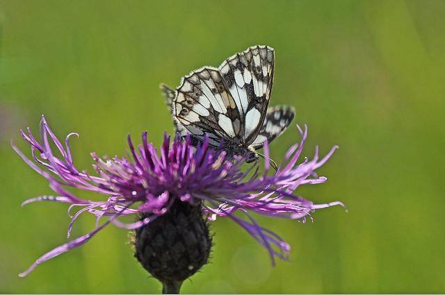 Marbled White butterfly (Melanargia galathea), South Yorkshire