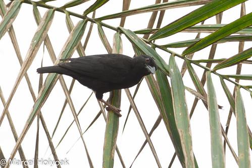birds weavers cameroon littoral fbwnewbird sanagariver blackthroatedmalimbe cassinsmalimbe malimbuscassini