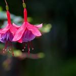 フクシア 'アント ジュリアーナ'/Fuchsia hybrida 'Aunt Juriiana'