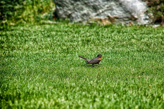 Rockin / running robin