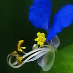 7月6日の誕生花は『ツユクサ(露草・月草)』。花言葉は『尊敬・小夜曲』。