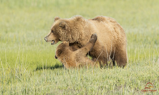 Cub Tussles with Mother Bear | by Glatz Nature Photography