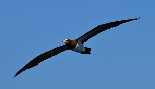 Brown Booby | by tombenson76