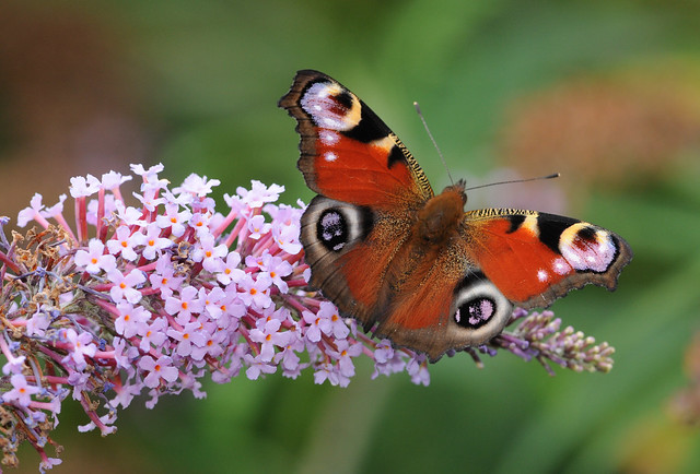 Peacock Butterfly 'Inachis io'