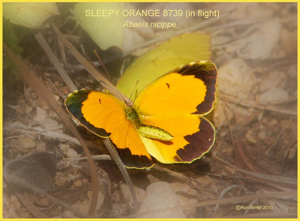 Sleepy orange Butterfly photography by Ron Birrell; DSC_8739