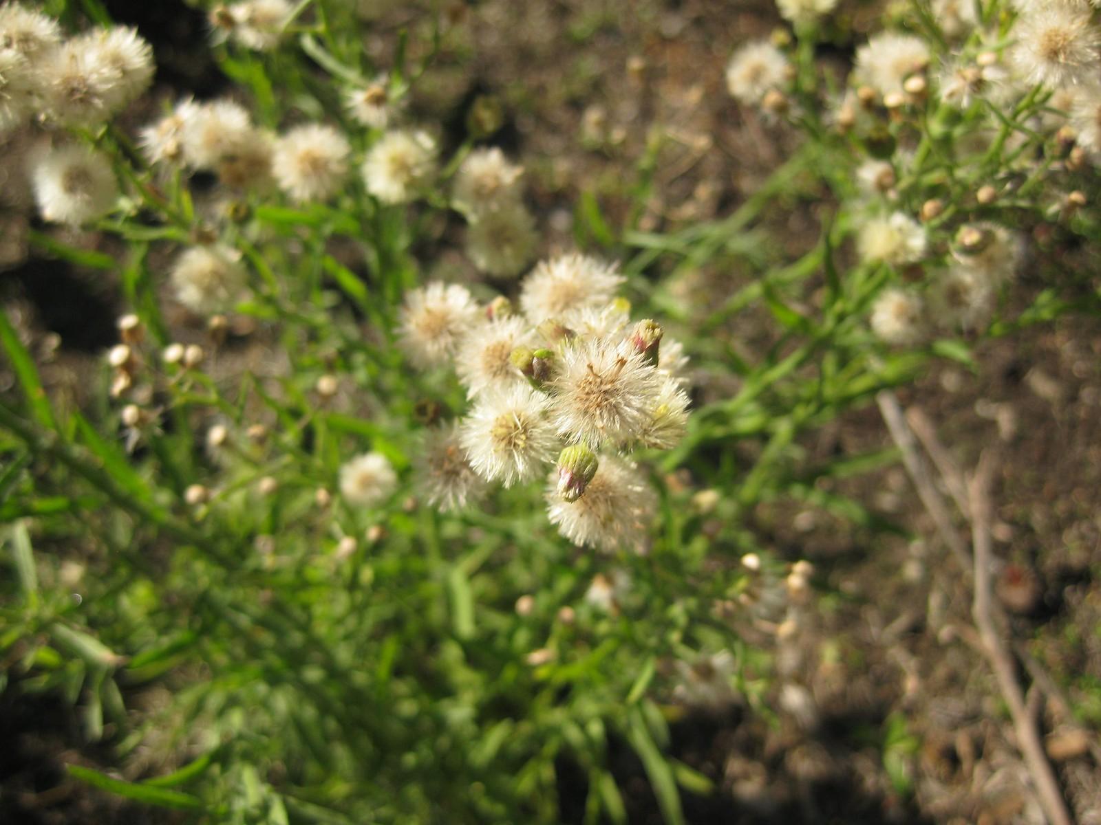 fleabane seedheads