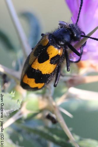 Mylabris variabilis | by Joan Quintana (joanillo)